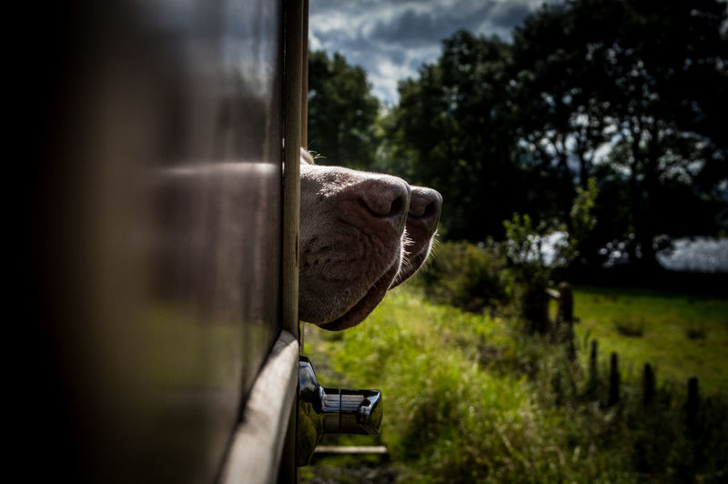 Close-up of dogs noses sticking out if a steam train window