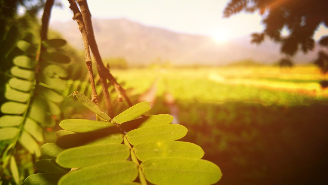 growth, nature, beauty in nature, field, plant, outdoors, leaf, agriculture, tranquility, focus on foreground, no people, green color, day, close-up, sunset, tree, freshness