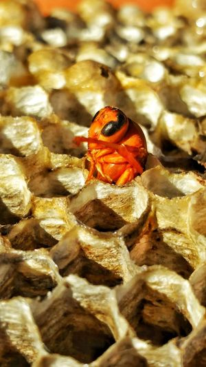 Waving hello to you. Welcome to the world little guy. Wasp Red Wasp Hatching Red Peeking Out Insect Hexigons Honeycomb Wasp Nest Nature Growth Close-up Shapes In Nature  Pattern Shapes Home Macro Photography Nest Bees Nest Insects Collection Macro Insects  Design Bugs Life Insect Home