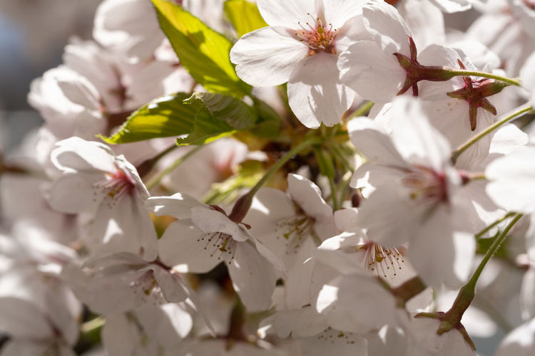 Close-up of white cherry blossoms on tree