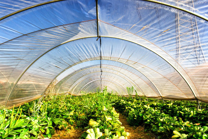 Agriculture Field Flowering Plant Freshness Gardening Gewächshaus Growth Hothouse Plant Plant Part Plants Agriculture Agriculture Photography Beauty In Nature Botany Erdbeere Freshness Gardening Glasshouse Greenhouse Greenhouse Plants Plant Plant Nursery Plants And Flowers Strawberry