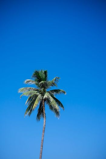 Blue Sky Clear Sky Copy Space Low Angle View Palm Tree Tree Nature No People Plant Day Tropical Climate Tall - High Growth Outdoors Beauty In Nature Coconut Palm Tree Leaf Tranquility Sunlight