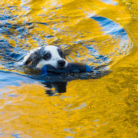 Border Collie Day Dog Domestic Animals One Animal Outdoors Pets Swimming Water