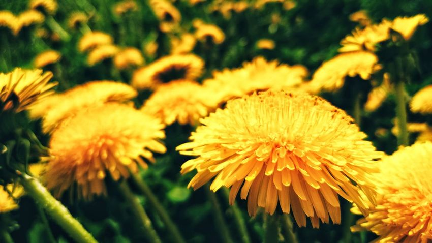 Mobilephotography Flower Head Flower Yellow Springtime Petal Uncultivated Close-up Plant
