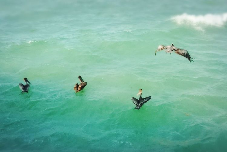 Pelicans Sea And Sky