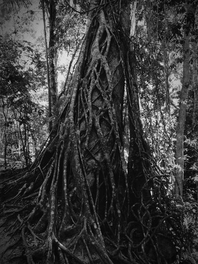 Strangler Fig Fraser Island Australia Fig Nature Nature_collection Blackandwhite Travel Photography Trekking Travel Camping EyeEmBestPics EyeEm Gallery Malephotographerofthemonth Share Your Adventure Outdoors Trees Well Turned Out Darkness And Light Nature On Your Doorstep Grey EyeEm Best Shots Island