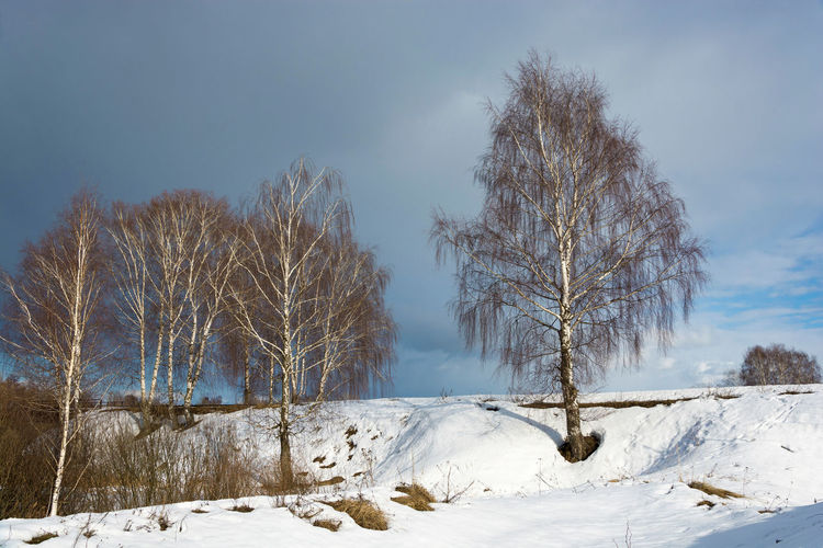 White-trunched birch trees on a snowy slope against the background of a cloudy sky in a spring March day. Snow Cold Temperature Tree Beauty In Nature Sky Tranquil Scene Tranquility Plant Bare Tree Scenics - Nature Covering Land Non-urban Scene No People Nature Landscape Environment Outdoors Cold Birch Trees Springtime