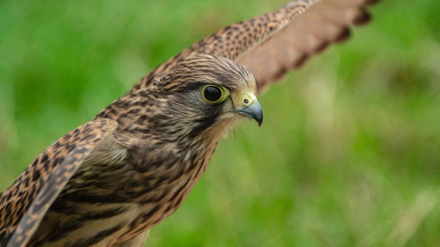Close-up portrait of raptor bird of prey hawk falcon eagle in flight showing wings