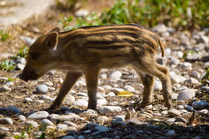 young wild boar (Frischling) Tierkinder Wildschwein Frischling Braunes Fell Streifen Wild Boar Brown Fur Stripes Running Young Animals Animal