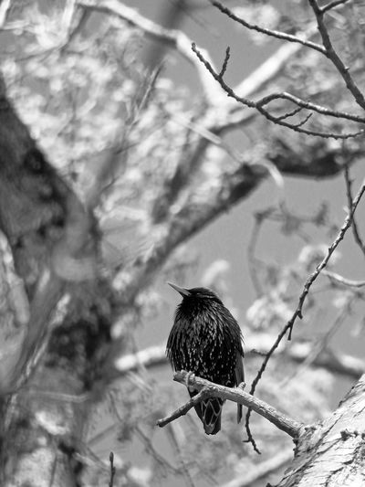 One vogel starling black bird with seizing details in a black and white photography - like his black eye.. Starling Bird Vogel Black Feathering Details Eye Details Black Seizing Bnw In Tree Focused On Foreground Full Lenght Bird Photography Black And White Bird Perching Tree Branch Animal Themes