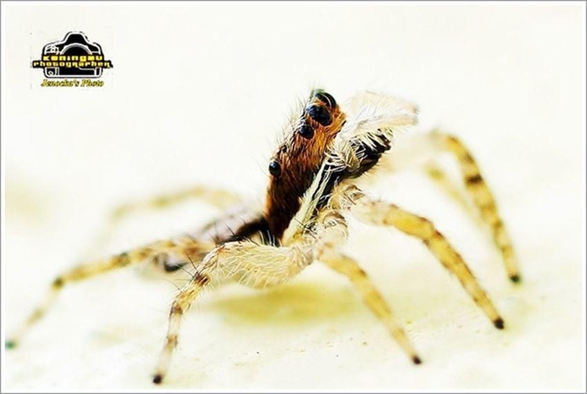 Macro Nature Macro Photography Macro Spider jumper