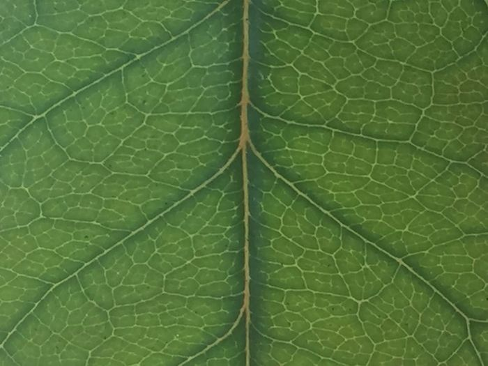 Leaf Close-up High Angle View Full Frame Day Green Color Plant No People Fragility Backgrounds Directly Above Nature Outdoors Freshness Maple