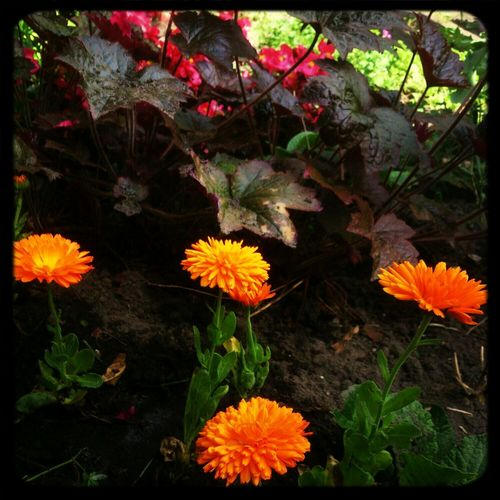 We Are Onefootball the garden is ready! Dutch Orange Flowers In My Garden