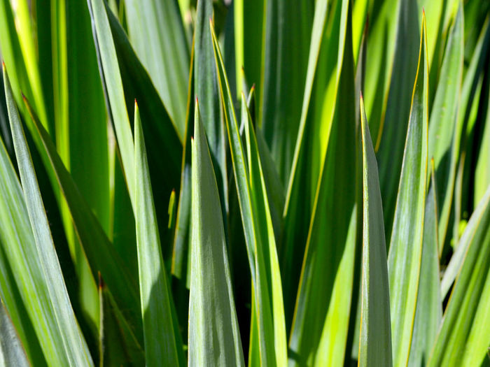 Yucca green leaves with sharp and prickly tips under bright summer sunlight close up Yucca Yucca Plant Green Color Leaf Growth Plant Part Plant Nature Beauty In Nature No People Close-up Blade Of Grass Sunlight Day Backgrounds