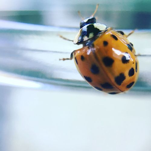 Insect Ladybug Close-up