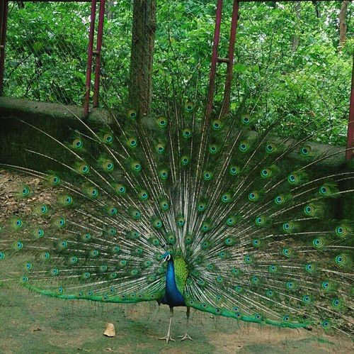 Peacock Elegant Zoo Wintage Filter