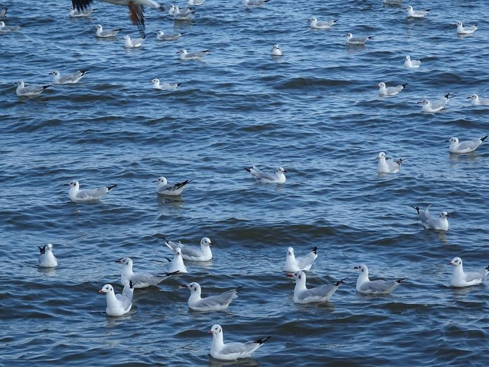 Bird Water Nature Animals In The Wild Swimming Large Group Of Animals Animal Themes Outdoors Day Animal Wildlife Beauty In Nature No People Sea