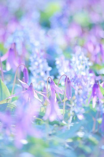 Purple Flower Nature Beauty In Nature EOS 6D Hokkaido Sapporo Spring Flowers 過去フォト