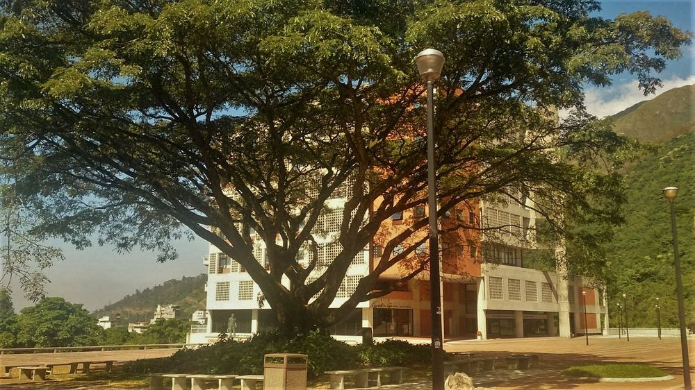 Green Color Nature Saman Sunny Tree Tree Trunk Unimet Universidad Metropolitana