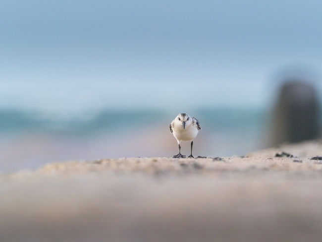 Helgoland Bird Birding Sanderling Animal Animal Themes Animal Wildlife Sea Vertebrate Animals In The Wild No People One Animal Land Day Water Nature Beach Selective Focus Copy Space Sky Outdoors Perching White Color Seagull Contemplation