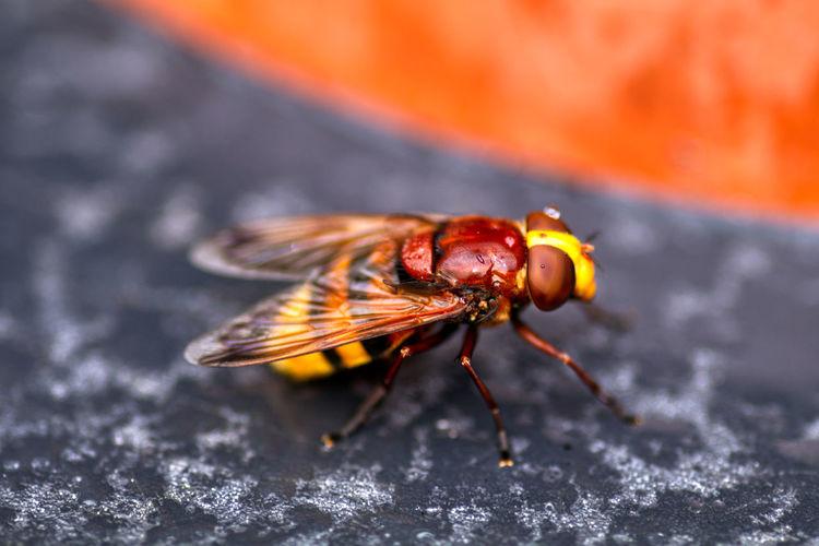 Close-up of hornet