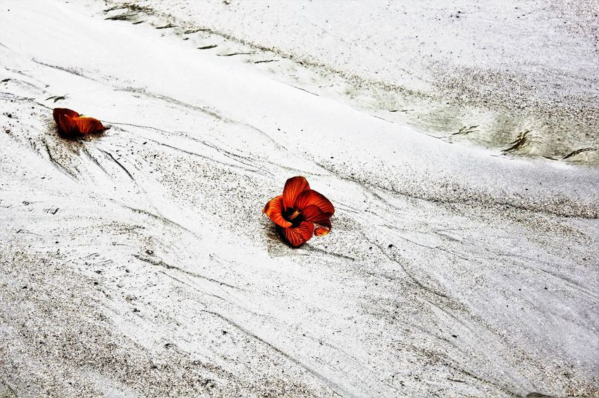 Flowers fallen from tree lying in sand Beach Photography Beauty In Nature Bintan Island Close-up Fallen Flowers On The Sand Ground Nature No People Outdoors Sand Selective Focus