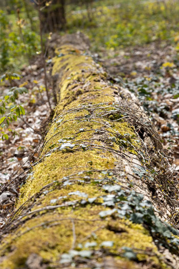 Close-up of moss growing on tree trunk