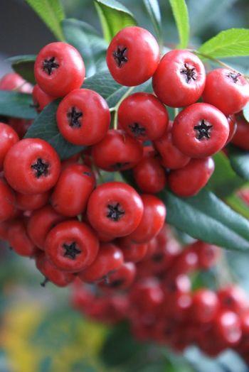 Close-up of rowan berries growing outdoors