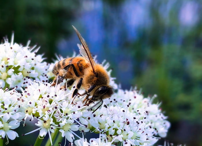 Honey Bee on a wild flower Animal Animal Themes Animal Wildlife Animals In The Wild Beauty In Nature Bee Bumblebee Close-up Flower Flower Head Flowering Plant Fragility Freshness Growth Insect Invertebrate No People One Animal Petal Plant Pollen Pollination Purple Vulnerability