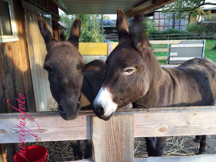 ...und als direkte Nachbarn hat Mau auch zwei Esel. Wie süß. 💕💗 Monique52 Esel Iah Tierfotografie Animal Themes