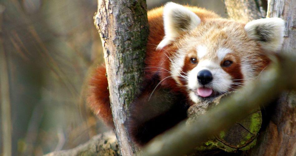 Blblblblbl! Animals Panda Chil Out