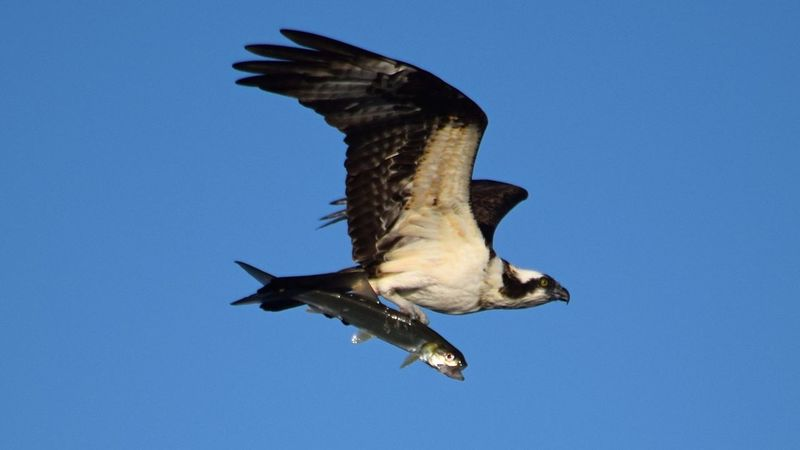 Florida Osprey with a fish over the Gulf of Mexico Animal Themes Avian Beauty In Nature Bird Fine Art Photography Clear Sky Day Fish Flying The Essence Of Summer Survival Of The Fittest My Favorite Photo Nature No People Osprey  Osprey With A Fish Outdoors Sky Spread Wings Wildlife The Purist (no Edit, No Filter) The Great Outdoors - 2016 EyeEm Awards Nature's Diversities The Essense Of Summer The Mix Up the Osprey (air) and the fish (water) BYOPaper! The Great Outdoors - 2017 EyeEm Awards