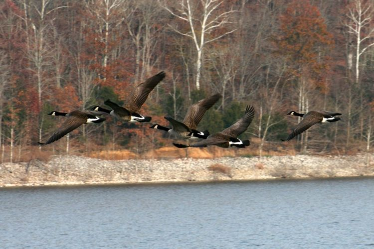 Canadian geese flying over Monroe Lake, Indiana Canadian Geese Geese Flying Geese Fall Bird Birds Animal Themes Animal Animals In The Wild Animal Wildlife Group Of Animals Water Flying Tree Spread Wings Nature Goose Mid-air Waterfront Flock Of Birds Lake Vertebrate No People Day Plant