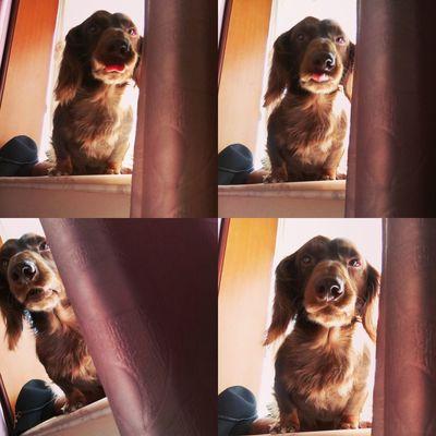 Dachshundlovers Ilovemydog Pets Dog Dachshundsofeyeem Puppy❤ Dachshund Dachshundoftheday Puppy Dog❤ Dog Love Dog Lover Sausagedog Dogs Of EyeEm Doglover Doggie Dachshundlove Cute Pets