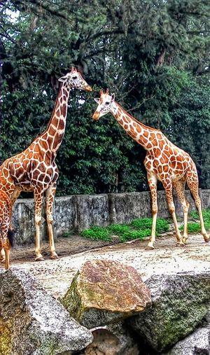 A Pair Of Giraffs Sunny Day Enjoying The View Animal Safari Animals Tree Animal Markings Giraffe Zoo Animals In Captivity Cage Captivity Safari Animals