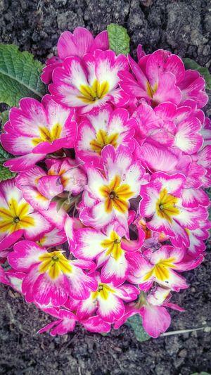 Fiori Flower