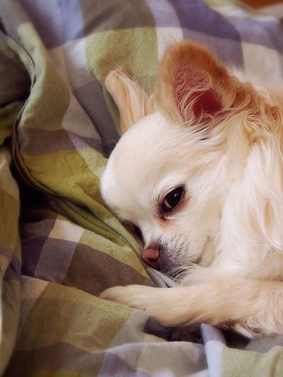 Good Morning Chihuahua My Dogs Are Cooler Than Your Kids I Love My Dog Dog Dogs Ilovemydog Dog Love Nap Time Hello World