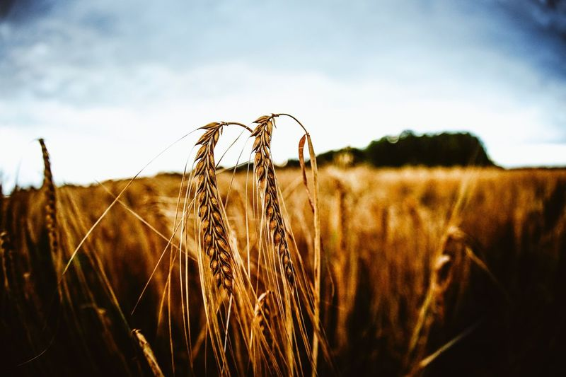Growth Nature Field Agriculture Farm Crop  Cereal Plant Tranquility Wheat Focus On Foreground Close-up Day Tranquil Scene No People Sky Plant Beauty In Nature Rural Scene Outdoors Ear Of Wheat