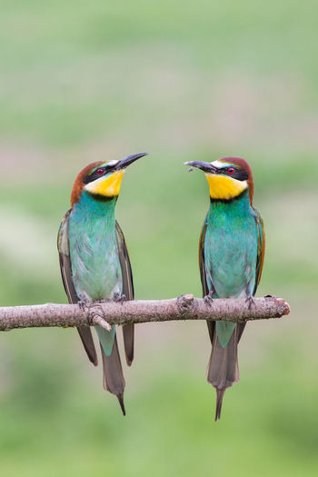 Couple of european bee-eaters, Italy BEE-EATERS Beautiful Bee Eaters Bird Photography Colored Couple Merops Apiaster Wildlife & Nature Wildlife Photography Animals In The Wild Beauty In Nature Bee Eater Bee-eater Bird Birds Close-up Colorful Countryside Europe Italy Nature Perching Po Valley Two Animals Wildlife
