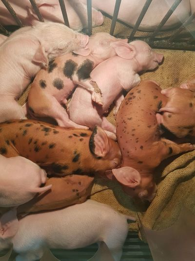 More colors EyeEm Selects Young Animal Livestock Piglet Growth Agriculture Mammal Indoors  Domestic Animals Animal Themes Swine Piglet, Snout, Caged Animal, Pig, Farm Animals, Curious, Rural, Domestic Animal, Siblings Galaxys8