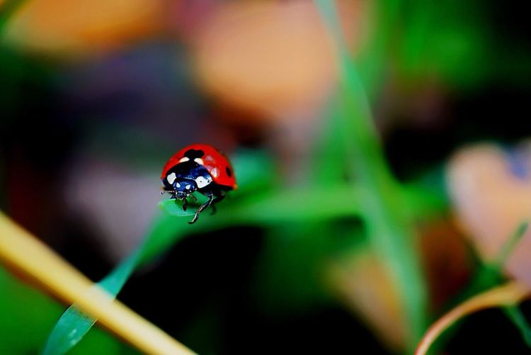 Close-Up Of Ladybug On Top Of Blade Of Grass
