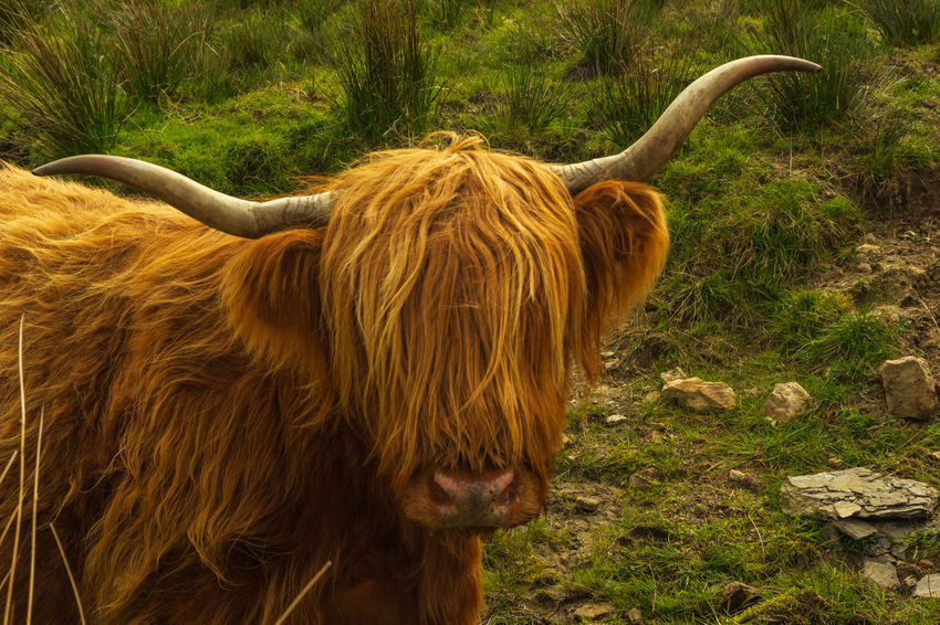 Highland cow looking into camera Beautiful Grass Photogenic  Scottish Cattle Animal Animal Themes Cattle Day Domestic Animals Domestic Cattle Field Hairy  Highland Cattle Horned Iconic Land Livestock Long Horns Mammal Meadow No People One Animal Outdoors Portrait