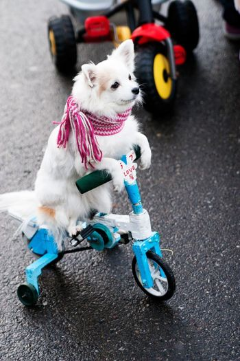 High Angle View Of White Dog On Tricycle