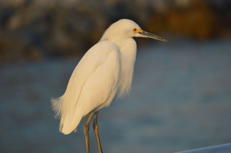 Close-Up Of Little Egret Against River