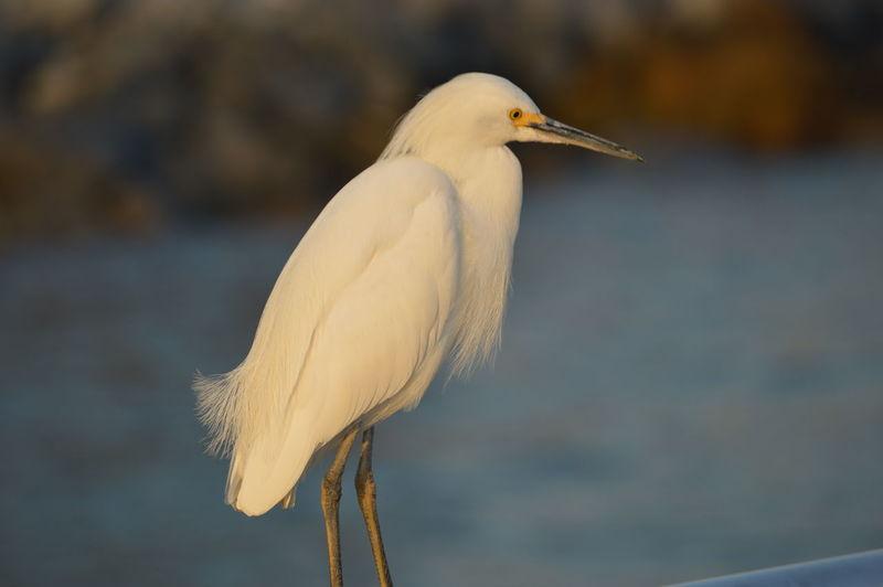 Close-Up Of Little Egret Against River