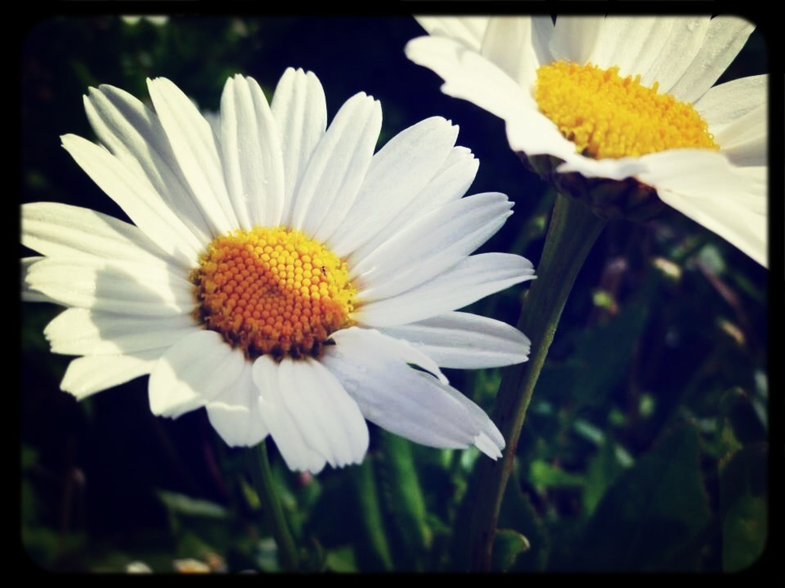 flower, transfer print, petal, flower head, freshness, fragility, white color, auto post production filter, yellow, pollen, daisy, beauty in nature, growth, close-up, blooming, nature, single flower, white, focus on foreground, plant