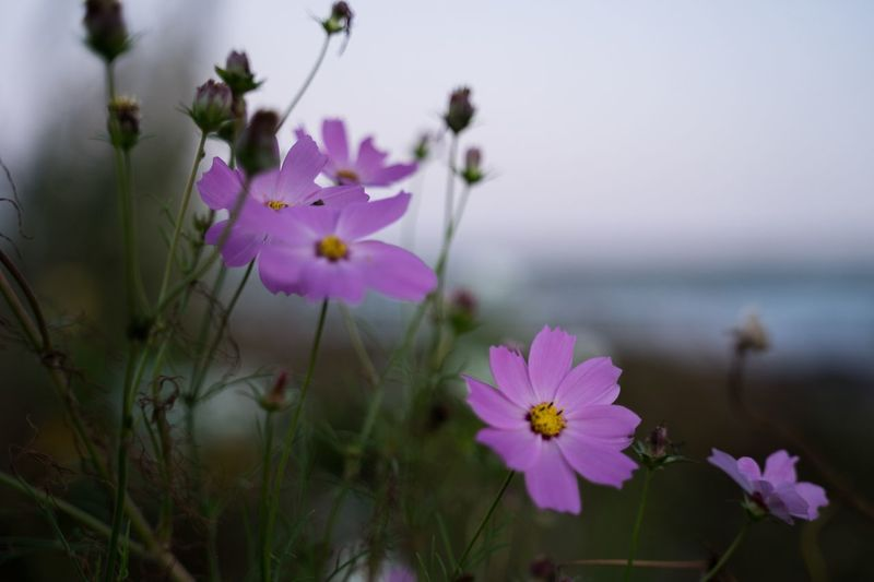 Flowering Plant Flower Plant Freshness Fragility Vulnerability  Beauty In Nature Nature Inflorescence Purple Focus On Foreground Growth Petal Close-up Flower Head Outdoors No People Day Selective Focus Plant Stem