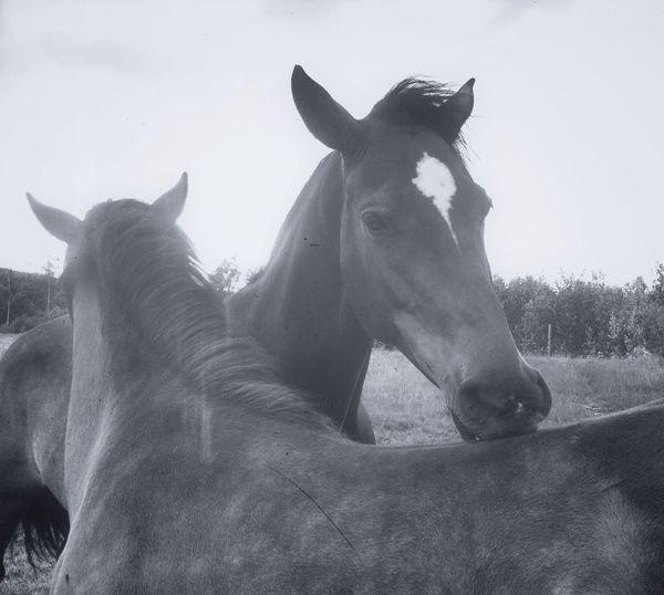 Blackandwhite Horses Sweet Little Horses Days In June