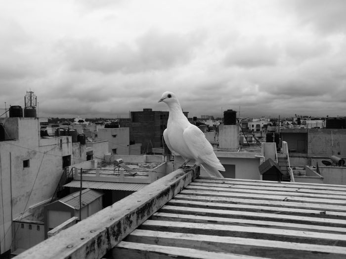 Bangalore,India Bird Cloud - Sky Outdoors No People Animal Wildlife Building Exterior Sky Animal Themes Cityscape Architecture City Day Lonely Lonely Bird Lonely Bird White Bird Pigeonslife Pigeon Doves, Birds Doves Pet Portraits The Week On EyeEm EyeEmNewHere Discover Berlin