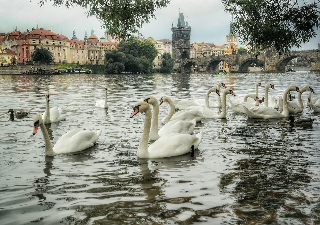 animals in the wild, bird, animal themes, swan, lake, water, animal wildlife, architecture, swimming, built structure, day, water bird, nature, tree, no people, outdoors, large group of animals, sky